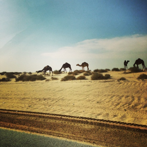 A herd of camels found in the Saudi Arabian desert on the way to Bahrain